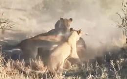 Ghê rợn cảnh đàn sư tử xé xác lợn rừng