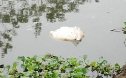Dịch tả lợn châu Phi tiếp tục bùng phát, xác lợn chết trôi khắp sông