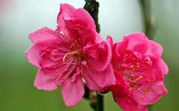 Hoa đào, vị thuốc quý
