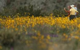 Đợt siêu nở hoa vô cùng bất thường trên sa mạc California
