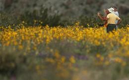 """Đợt """"siêu nở hoa"""" vô cùng bất thường trên sa mạc California"""