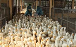 Chặn 900 con vịt nhiễm vi rút cúm gia cầm H5N6 trước khi vào lò mổ