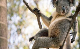 Gấu koala gây 'bão' mạng xã hội nhờ dáng ngồi gợi cảm