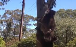 Video: Koala bất lực bị kẻ bắt nạt chiếm mất nơi ở