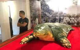 Tiêu bản cụ rùa hồ Gươm được đưa vào trưng bày ở đền Ngọc Sơn