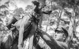 Liên Xô đã sử dụng chó cảm tử đánh thắng Đức Quốc xã như thế nào?