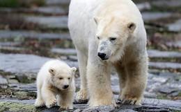 Sở thú Berlin trình làng bé gấu Bắc cực 3 tháng tuổi