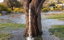 Bí ẩn cây cổ thụ tự tuôn nước như thác chảy