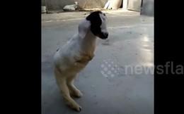 Video: Bất ngờ với hình ảnh của chú dê chỉ có hai chân