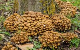 Kỳ lạ loài nấm nặng hàng trăm tấn, tuổi thọ ngàn năm phát sáng về đêm