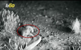Chú chuột né cú vồ mồi của rắn chuông điệu nghệ như ninja