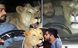 Gặp gỡ Simba: Chú sư tử lớn lên ở nông trại, hay mè nheo và 'ngại' đi ô tô