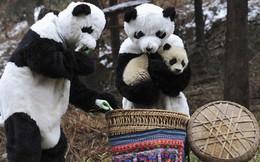 Nghề nghiệp đáng yêu nhất thế giới: Đóng giả làm gấu trúc để chơi đùa, chăm sóc gấu con