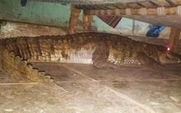 Hoảng hồn cá sấu mang thai nằm dưới gầm giường chờ sinh nở