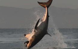 Phát hiện chất kịch độc trong huyết quản cá mập trắng nhưng chúng... chẳng sao cả, và lý do đây là một tin cực xấu