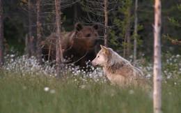 Thế giới động vật: Sói tinh ranh đánh lừa nhà gấu để cướp mồi