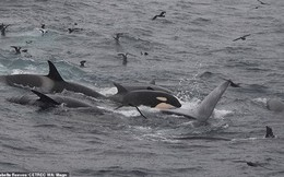 Hỗn chiến giữa cá voi sát thủ và cá voi xanh khổng lồ