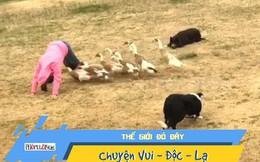 Video: Bầy chó 'lùa' vịt làm trò có một không hai