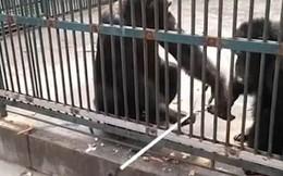 Video: Khách tham quan ngỡ ngàng trước hành động thông minh của con tinh tinh