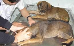 Gần 500 người bị chó chạy rông và chó dại cắn