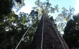 """""""Sợ tê tái"""" là cảm giác khi leo lên cái cây nhiệt đới cao bậc nhất thế giới mà khoa học vừa tìm ra"""