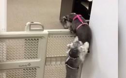 """Video: Cún cưng giúp bạn trèo qua cổng chắn để """"vượt ngục"""""""
