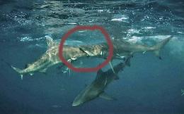 Bức ảnh cá mập vây đen ngoạm nhầm đầu đồng loại vì quá đói gây 'sốt'