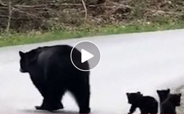 Video: Tan chảy với hình ảnh gấu mẹ dẫn đàn con lon ton qua đường