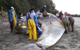 Mổ bụng, phát hiện nguyên nhân bất thường khiến hàng chục con cá voi khổng lồ chết bí ẩn