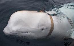 Cá voi trắng gắn thiết bị huấn luyện được cho là của Quân đội Nga