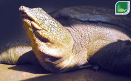 Khôi phục rùa Hoàn Kiếm, hy vọng chỉ còn ở Việt Nam