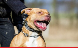 Cụ bà bị chó pit bull tấn công điên cuồng, cắn rách cả hai tai