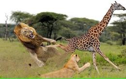 Màn săn hươu cao cổ đầy vất vả của sư tử