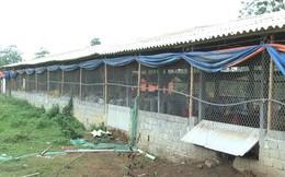 Trang trại mất trộm 1.400 con gà do kẻ gian đột nhập