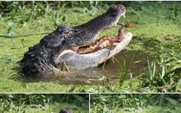 Con rắn quằn quại vật lộn trong hàm cá sấu khát máu và cái kết thảm thương