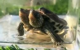 Rùa bạch tạng 2 đầu siêu hiếm rao bán hơn 700 triệu đồng
