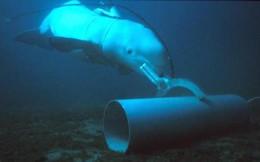 """Điều gì khiếnHải quân Mỹ huấn luyện cá heo, hải cẩu làm """"quân nhân biển""""?"""