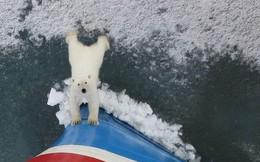 Bức ảnh gấu Bắc Cực hướng ánh mắt vô vọng như cầu xin loài người giữa lớp băng tuyết đang tan dần gây ám ảnh