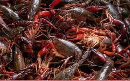 Tôm hùm đất - loại hải sản rất được yêu thích nhưng lại khiến dân Trung Quốc sợ hãi khi ăn vào tháng 5 vì lý do này