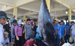 """Ngư dân Phú Yên câu được 3 con cá """"khủng"""" nghi cá ngừ vây xanh"""
