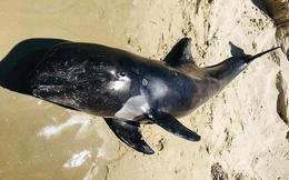 Cá voi nặng hơn 100 kg dạt vào bờ biển ở Bình Thuận