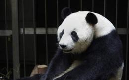 Giải oan cho chị gấu trúc giả vờ có bầu để được ăn sung mặc sướng: Sự thật đáng buồn hơn bạn tưởng