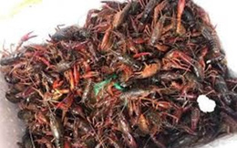 Tại sao tôm càng đỏ bị cấm nuôi ở Việt Nam?