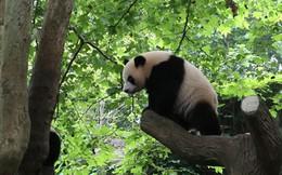 """Những hình ảnh thú vị về gấu trúc - """"quốc bảo"""" của Trung Quốc"""