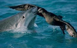 Khoa học chứng minh: Cá mập hổ con ăn được cả thịt sống trên cạn