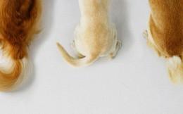 Chó có nhiều kiểu vẫy đuôi, mỗi kiểu lại chứa thông điệp mà chưa chắc bạn đã hiểu
