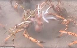 Bạch tuộc đi lạc trúng bầy cua khổng lồ và cái kết bi thảm - đoạn video cho ta thấy tự nhiên tàn khốc là như thế nào