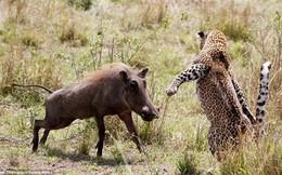 Thế giới động vật: Lợn rừng mất mạng vì liều mình ngu ngốc