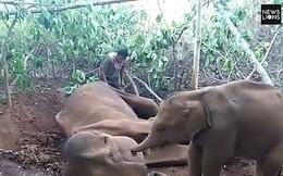 Xúc động cảnh voi con lay gọi mẹ đã chết trong vô vọng