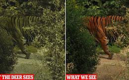 Tại sao lông con hổ có màu đỏ cam cực kỳ nổi bật mà vẫn là hung thần của rừng xanh? Đây chính là câu trả lời